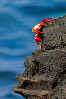 """Chinese hat"", ""Crab, Sally Lightfoot"", Ecuador, ""Galápagos Islands"", ""Grapsus grapsus"", ""Sombrero Chino Islet"""