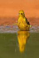 """Yellow Warbler"",""Dendroica petechia"","