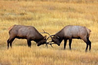 "Bull, ""Cervus canadensis"", Elk, Wyoming, ""Yellowstone National Park"""