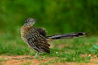 "Greater Roadrunner, ""Geococcyx californianus"","