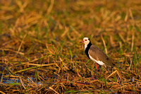 Lapwing, Long-toed