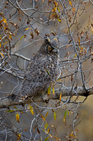 """Bubo virginianus"", ""Grand Teton National Park"", ""Great Horned"", Owl, Wyoming"