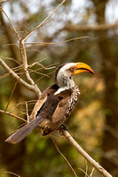Hornbill, Southern Yellow-billed