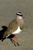 Plover, Crowned