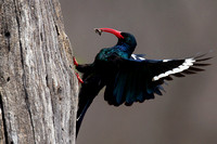 Wood-hoopoe_G_Z2F3480