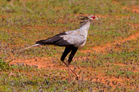 "Kenya, ""Sagittarius serpentarius"", ""Samburu National Reserve"", ""Secretary Bird"""