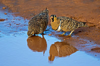 "Black-faced, Kenya, ""Pterocles decoratus"", ""Samburu National Reserve"", Sandgrouse"