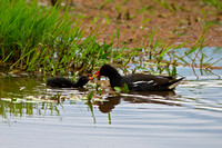 """Gallinula chloropus"", Kenya, ""Lake Nakuru National Park"", ""Moorhen, Common"""